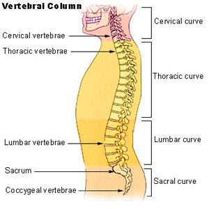 vertebral_column