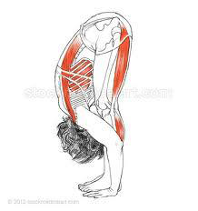 We can see in fig 1, that the plumb line and line of gravity goes through all the correct joints. Particularly looking at the Yogis ability to tilt the pelvis and roll the heads of the femurs toward the ASIS with ease and no discomfort. They are releasing the hip flexors and lower back and breath can clearly flow into the upper area of the back and shoulders.
